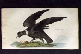 Brightly (Pub) 1815 Hand Col Bird Print. Condor